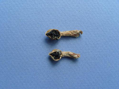 Turbinicarpus beguinii var. smithii (1)-copie-1