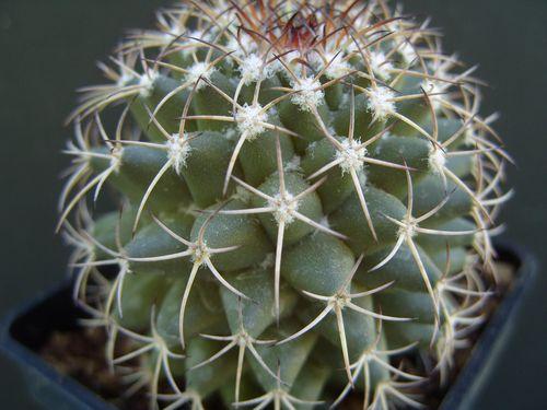 Mammillaria polythele (8)