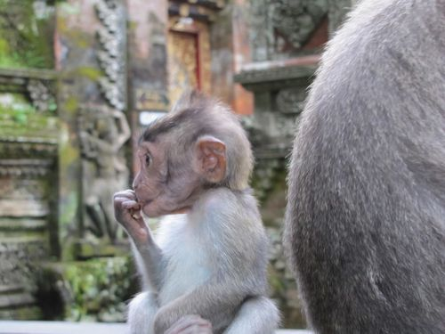Monkey Forest macaques 15