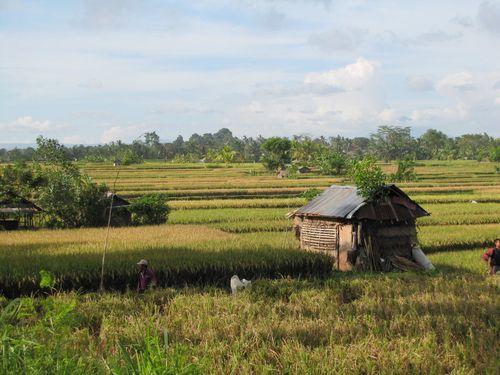 Ubud rizière 6