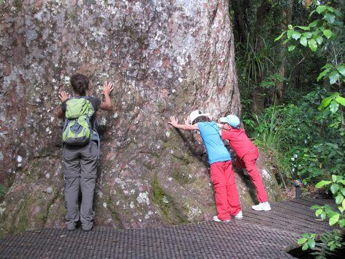 The Northland Waipoua Forest Yakas Kauri 4