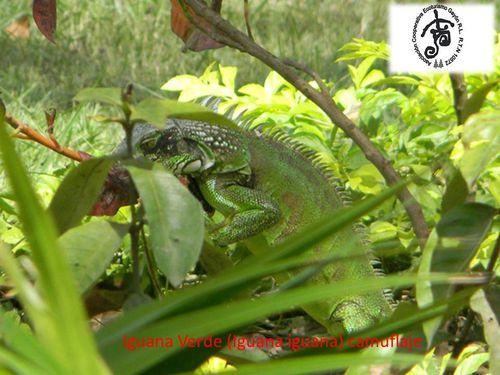 iguanana-camufaje2.jpg