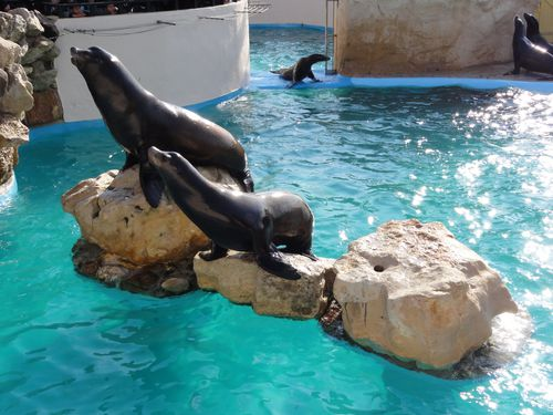 otaries-de-californies-marineland.JPG