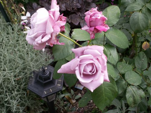 Charles de Gaule rosier tres odorant juin2006