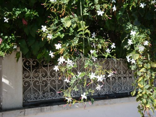 Jasminum officinarum-