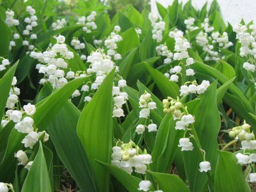 muguet-copie-1