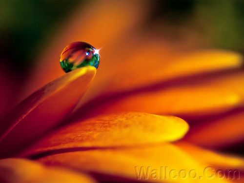 Close_up_waterdrop_on_flower_cb_wp8.jpg