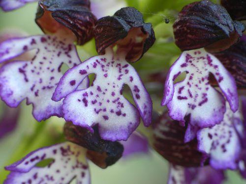 Orchis-purpurea191.jpg