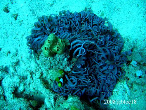 357-poisson-clown-et-son-anemone-cuir-heteractis-crispa.JPG