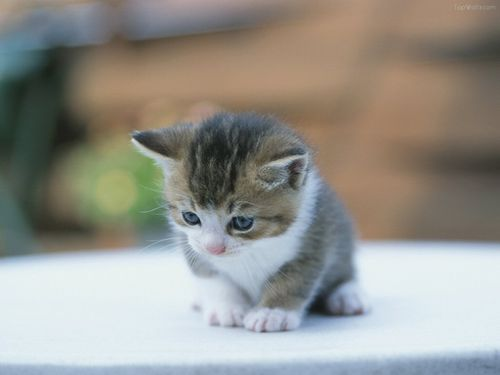 petit-chat-chaton-top-mignon-1-.jpg