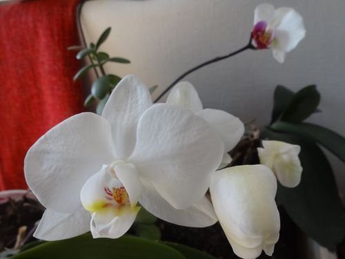 orchideesmai2013--3-.JPG