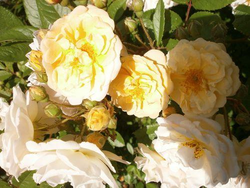 Cerises-fleurs-et-cuisine-fin-mai-2012-084.JPG