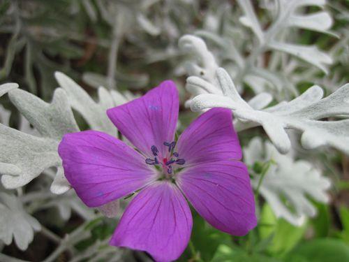 geranium--2-.JPG