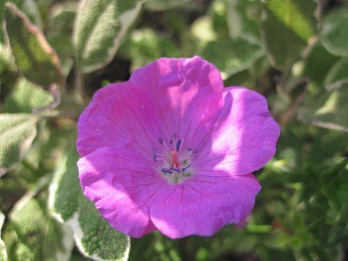 géraniums (5)