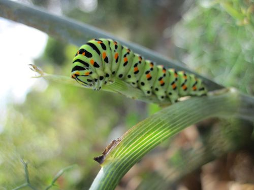 chenille-Machaon--11-.JPG