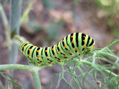chenille-Machaon--12-.JPG
