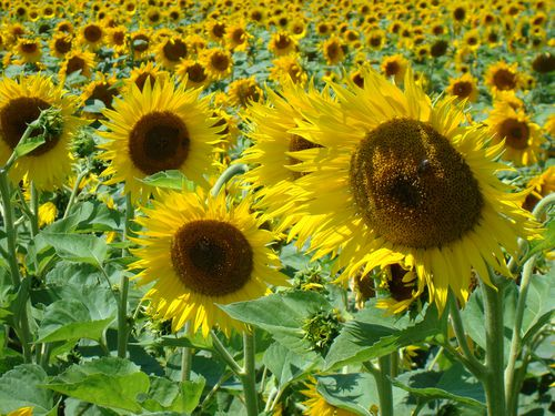 kalidoscope de tournesols soleil drome
