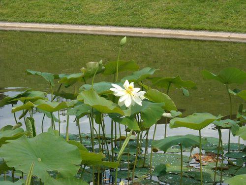 lotus--fleur-.JPG