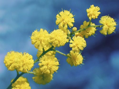 Mimosa-fleur-gros-plan.jpg