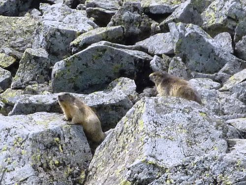 marmottes-chambourguet--3-.JPG