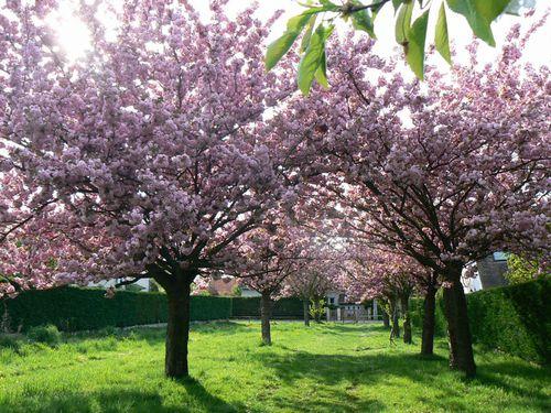 Allee-cerisiers-11-avril-2.JPG