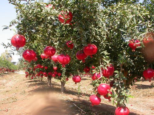 Anar-Pomegranate-.jpg