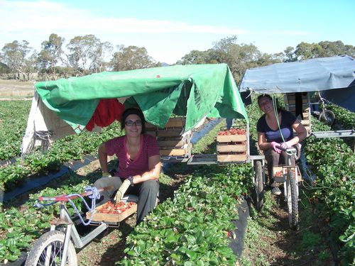 http://img.over-blog.com/500x375/5/04/06/24/Strawberry-picking-at-Nairne/DSCN0565.JPG