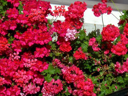 beaux geraniums fleuris