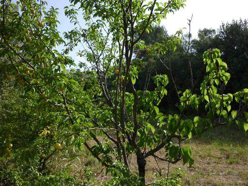 Greffe de prunier sur abricotier...