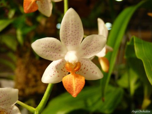 Expo-orchidees-Ecully-2012--36-.JPG