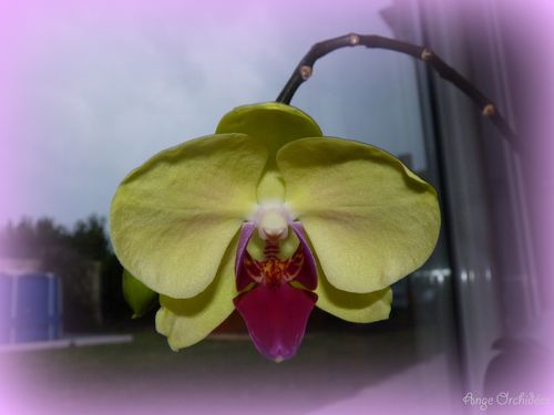 Phalae-hyb-jaune-fushia--76b-.jpg