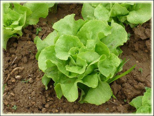 salade-herbes.JPG