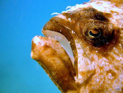 sole ocellée-Pardachirus pavonicus (pavoninus)