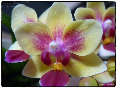 Phal little lady jaune-fushia (03)