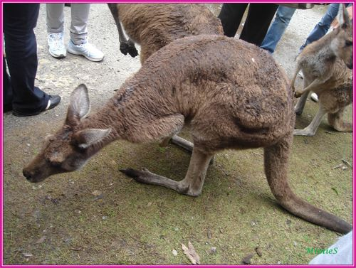 kangooroos (10)