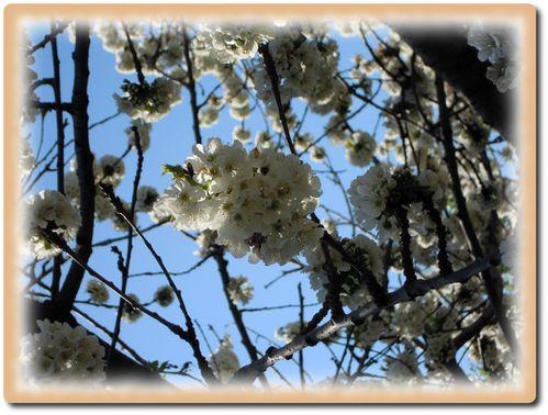 cerisier-3.JPG