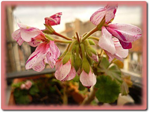 fleurs-balcon-maison-1.JPG