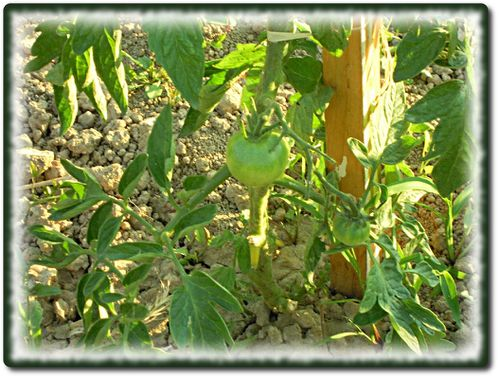 tomates-courgettes-1.JPG