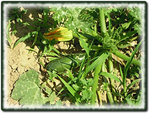 tomates-courgettes-2.JPG
