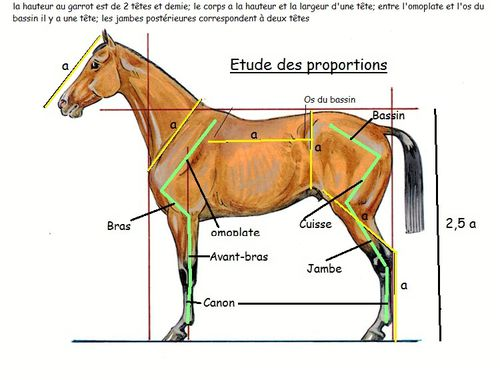 Cheval proportions profil