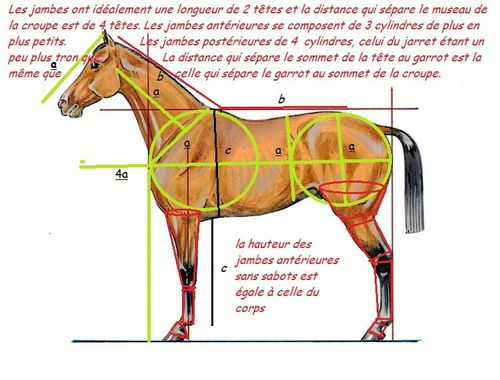 proportions cheval 3