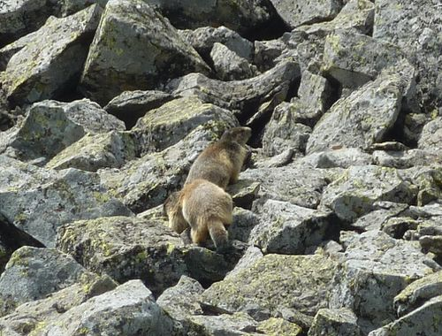 marmottes-chambourguet--4-.JPG