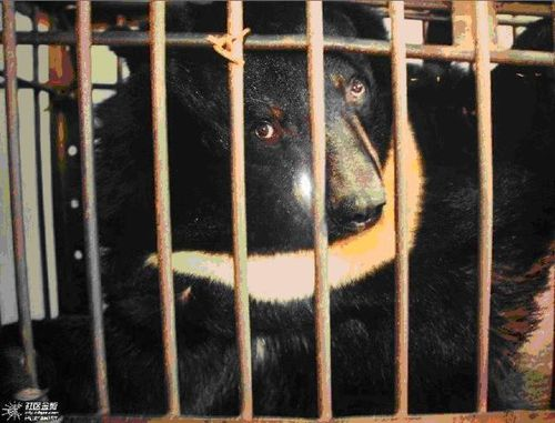 3 urgence animaux de chine ours