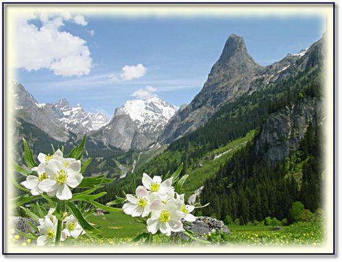 fleur-des-alpes-3.jpg