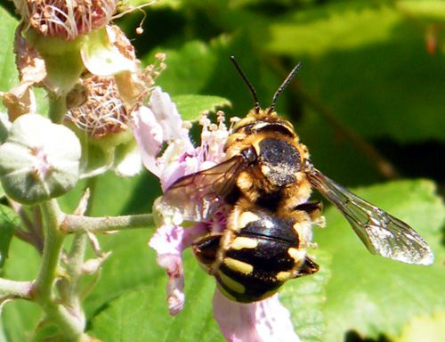 anthidium-florentinum-male-15.06.JPG