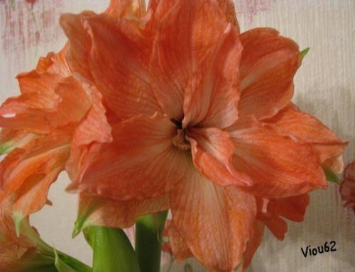 Viou62 blog du jardin de viou avec une dominante plantes for Les amaryllis