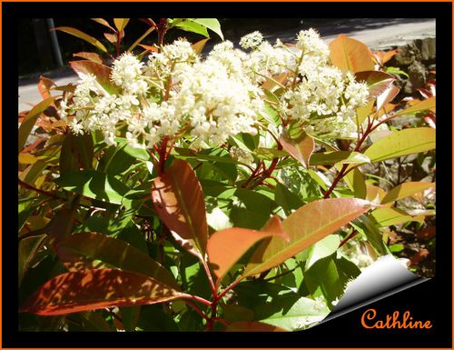 photinia arbuste fleurs. Black Bedroom Furniture Sets. Home Design Ideas