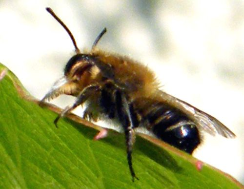 hymenoptere-ND-2