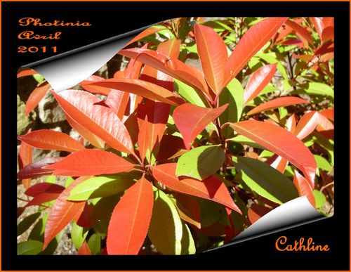 feuillage-photinia--30-avril-2011.jpg