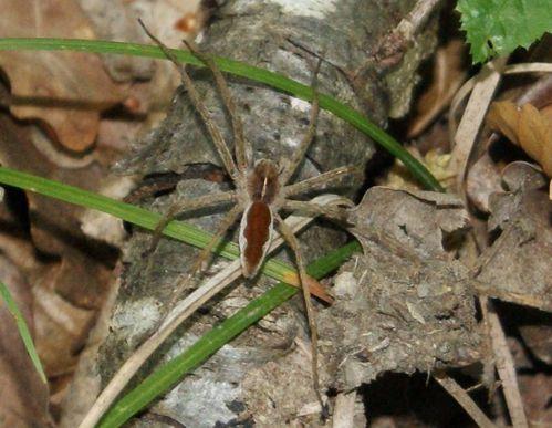araignées des bois